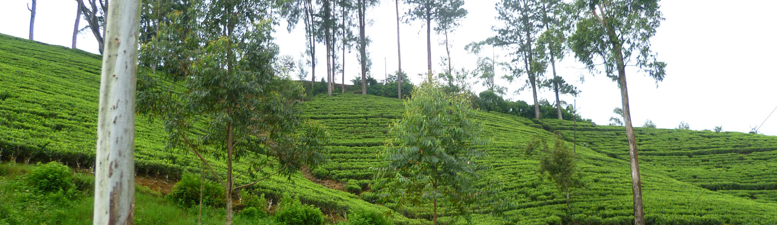 Joe's Tea Co. plantations